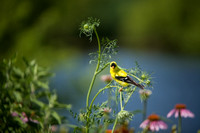 Finches_0014
